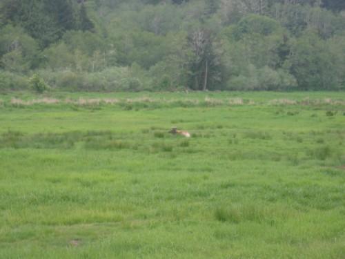 Loner Moose