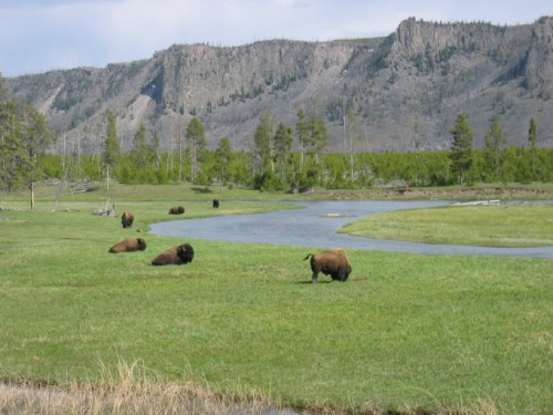 And more bison