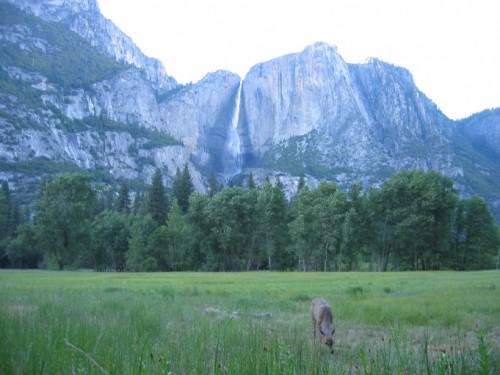 Deer feeding near Yosemite Falls